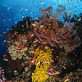 Soft Coral And Sea Fan, Fiji by Todd Winner