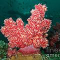 Soft Coral by MotHaiBaPhoto Prints