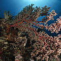 Soft Coral Reef Seascape, Indonesia by Todd Winner