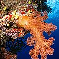 Soft Coral Seascape, Fiji by Todd Winner