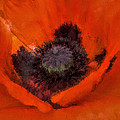 Soft Dreamy Poppy by Barbara Thorvilson