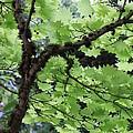 Soft Green Leaves by Carol Groenen