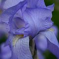 Soft Petals by Susan Herber