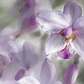 Soft Pink by Diane Dugas