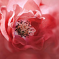 Soft Rose In Square Format by Sally Bauer