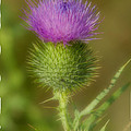 Soft Thistle by Cindy Lindow