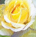 Softly Blooming Rose by AE Hansen
