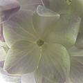 Softly Lit Hygrangea Bloom by Debbie Portwood