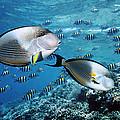 Sohal Surgeonfish by Georgette Douwma