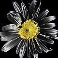 Solarized Daisy by David Patterson