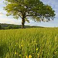 Solitary Oak Tree And Wildflowers In by Axiom Photographic