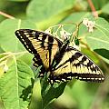 Solitary Swallowtail by Don Downer