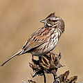Song Sparrow by Rich Leighton
