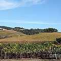 Sonoma Vineyards - Sonoma California - 5d19309 by Wingsdomain Art and Photography