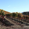 Sonoma Vineyards - Sonoma California - 5d19311 by Wingsdomain Art and Photography