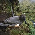 Sooty Albatross Phoebetria Fusca by Tui De Roy