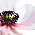 Soul Of Poppy by Claudia Moeckel