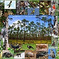 Southeastern Pine Forest Wildlife Poster by Barbara Bowen