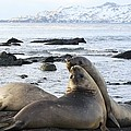 Southern Elephant Seals Sparring by Charlotte Main