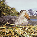Southern Giant Petrel by Peter Scoones