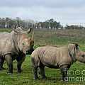 Southern White Rhinos by Dawn Downour