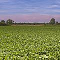 Soybean Field by Paolo Negri