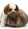 Spaniel Puppy And Rabbit by Mark Taylor