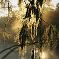 Spanish Moss Hanging From A Tree Branch by Medford Taylor