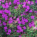 Spanish Shawl Flowers by Adrian Thomas