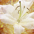 Sparkling Lily by Clare Bambers