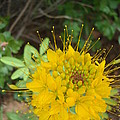 Yellow Bee Plant Sparks by Maili Page