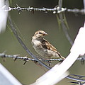 Sparrow - Protected By Razor Wire by Travis Truelove