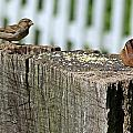 Sparrow And Chipmunk Coexist by Joe Faherty