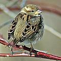 Sparrow IIi by Joe Faherty
