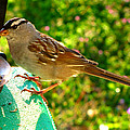 Sparrow In Morning Light  by Debbie Portwood