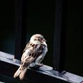 Sparrow by Karol Livote