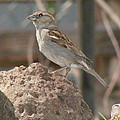 Sparrow by Linda Larson
