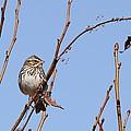 Sparrow On Blue by Travis Truelove