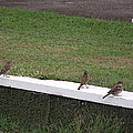 Sparrows by Rani De Leeuw