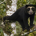 Spectacled Bear Tremarctos Ornatus Cub by Pete Oxford