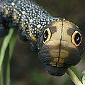 Sphinx Moth Caterpillar Inflating by Darlyne A. Murawski