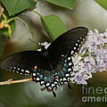 Spice Bush Swallowtail On Lilac by Lara Ellis