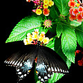 Spice Bush Swallowtail  by Skip Willits