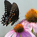 Spicebush Butterfly On Echinacea by Kathy Clark