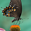 Spicebush Swallowtail Butterfly by Kathy Clark