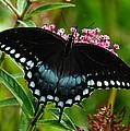 Spicebush Swallowtail Din038 by Gerry Gantt
