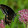 Spicebush Swallowtail Din039 by Gerry Gantt