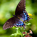 Spicebush Swallowtail by Lynne Jenkins
