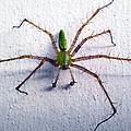 Spider by Dennis Hofelich