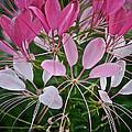 Spider Flower by Susan Herber